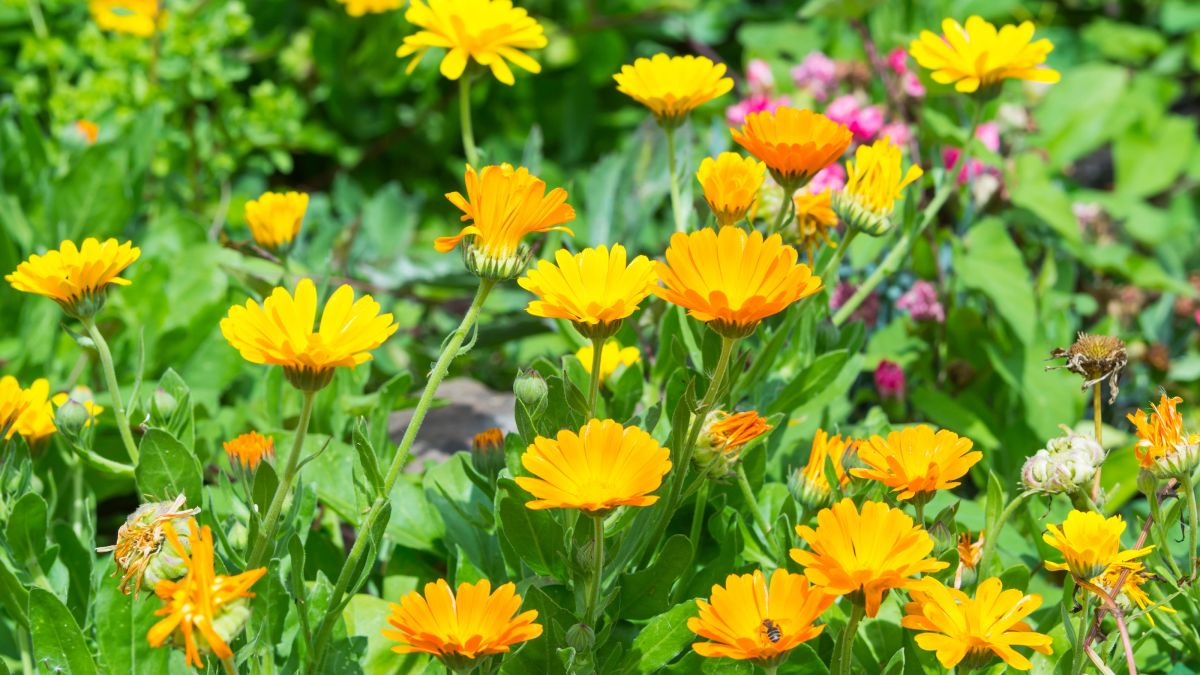 How to grow marigolds: add a burst of brilliant color to borders and containers