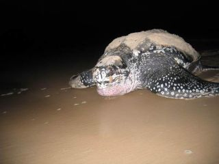 leatherback-night-110104-02