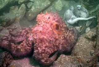 octopus, octopus cannibalism, common octopus, Octopus vulgarism, weird animal photos