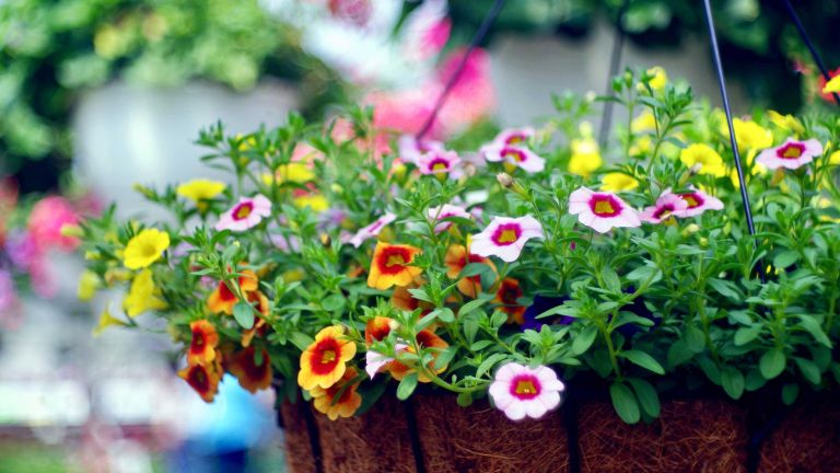 best plants for hanging baskets: million bells in bright colors