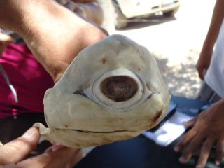 Cyclops shark caught in Mexico.