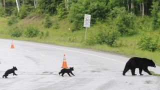 black bear and young in Anchorage