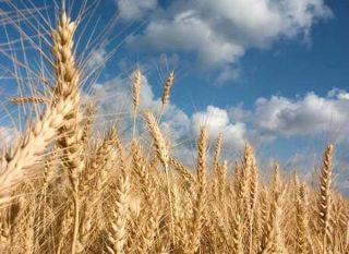 Is Genetically Modified Wheat Safe? | GM Food | Live Science