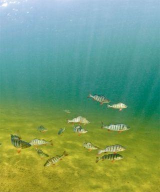 shoaling perch fish
