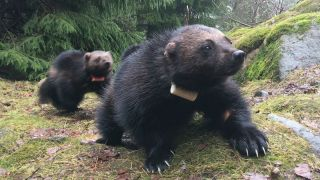 Wolverines sport their GPS tags.
