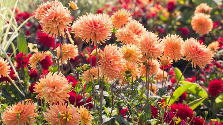 what to plant in August – orange dahlias