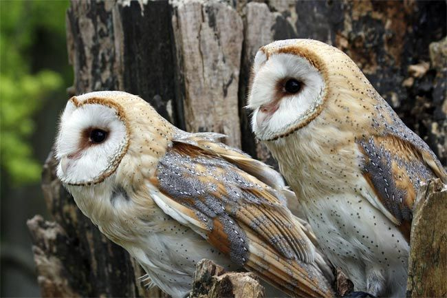 What Male Owls Want Big Spots Live Science