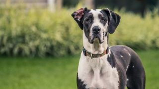 Black and white Great Dane Dog staring at the camera
