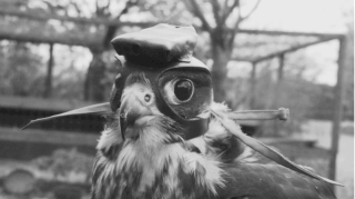 Falcon Wearing Helmet-Mounted Camera