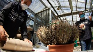 A Copiapoa solaris specimen is one of hundreds of cactuses that were recently recovered by Operation Atacama.