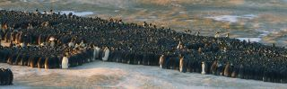 emperor penguin huddle