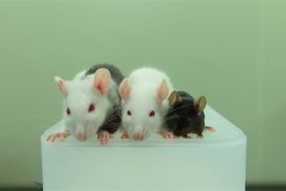 This photo shows, from left to right, a rat-mouse chimera, a rat and a mouse. The rat-mouse chimera was made by injecting mouse pluripotent stem cells into a rat embryo.