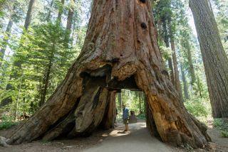 calaveras big tree pioneer cabin tree
