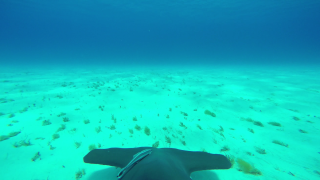 Pretend to be a hammerhead shark with this 4K GoPro footage