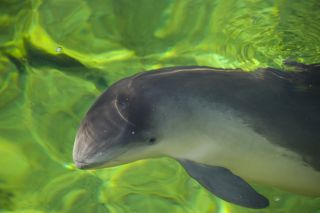 A common, or Harbor, porpoise.
