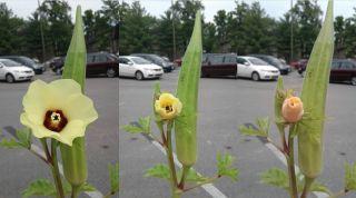 okras, totality, flower