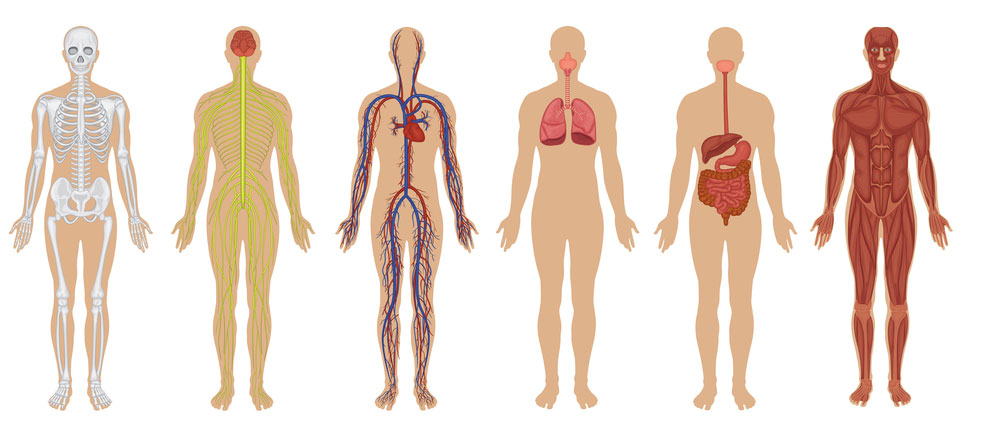 The Human Body: Anatomy, Facts & Functions | Live Science
