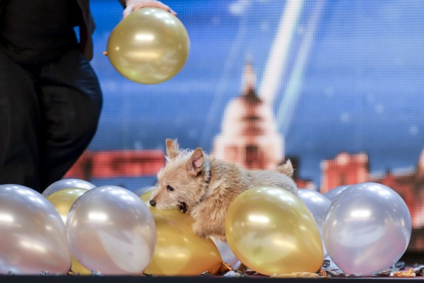 Cally The Wonderdog pops balloons (Tom Dymond/Syco/Thames TV)