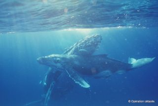 A mother humpback whale and her calf swim on the Antigonia seamount located near the New Caledonian islands in the South Pacific Ocean.