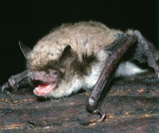 Photo of a Brandt's bat, one of smallest mammals with exceptional longevity.
