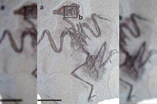 Bird eye fossil