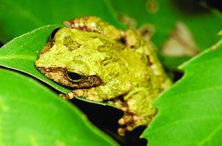 A newfound emerald-eyed tree frog called <em>Kurixalus berylliniris</em> from Taiwan.