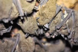 The white fungal growth on one of the endangered gray bats in the center of this image is a symptom of white-nose syndrome. An analysis later confirmed the bat indeed had white-nose syndrome.