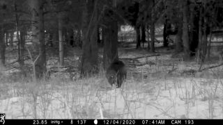 wolverine caught on camera