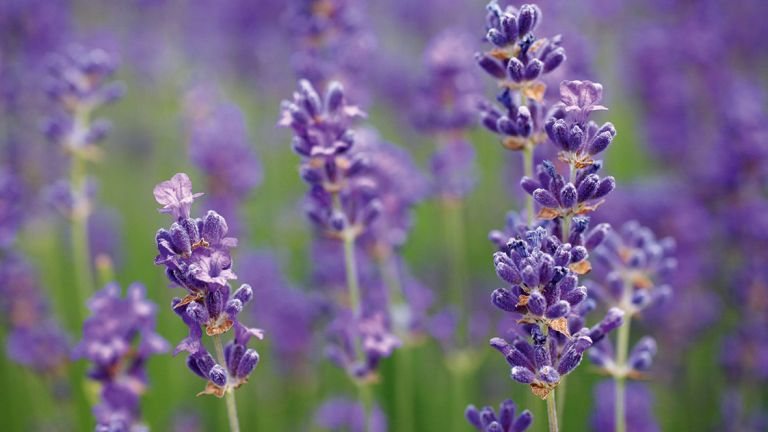 one of the best low maintenance plants is lavender