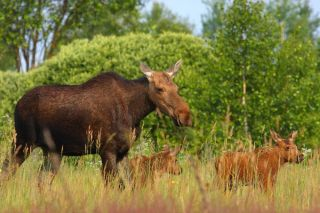 Moose in Chernobyl