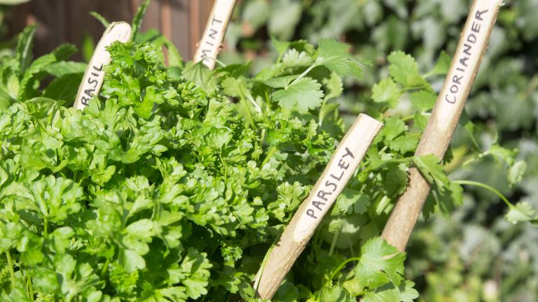 most common herb garden mistakes