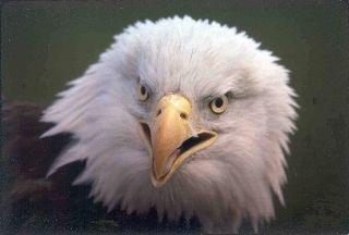bald eagle survey, bald eagle images, bald eagle news, bald eagles, bald eagle populations, bird census, birds of prey, animals, endangered species news, endangered bird species