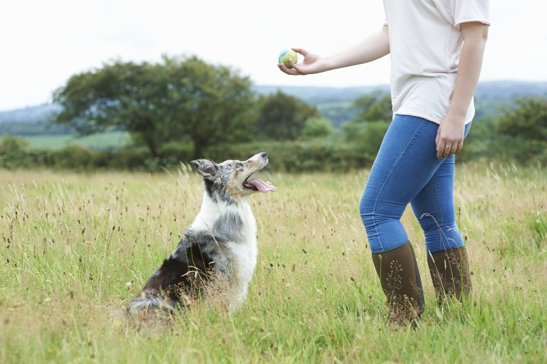 Woman training dog with ball in meadow