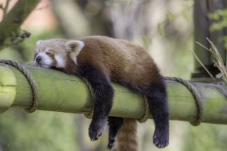This red panda is getting in its zzz's.