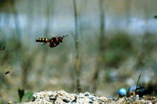 A ground-nesting wasp (</em>Cerceris arenaria</em>) approaches her nest.
