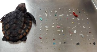 A dead, 1-2 month old sea turtle laying next to 104 pieces of small plastic pulled from its digestive tract.