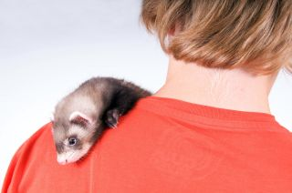 ferrets are popular pets