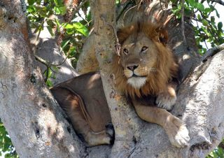 A tree-climbing African lion in Uganda's Ishasha district.