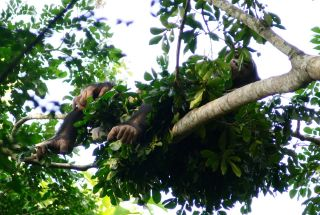 A chimpanzee lounging in his nest.