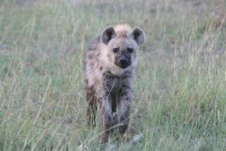 Facts About Hyenas | Live Science