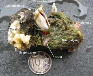 Pumice with coral