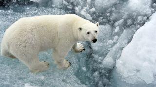 A photo of a polar bear standing on an ice floe in the Arctic Ocean.