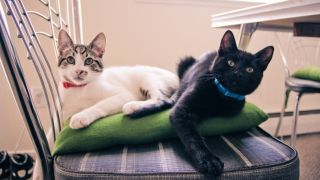 Two kitties each wearing a flea collar for cats