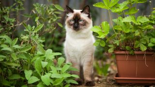 Ragdoll cat - one of the best cat breeds for first-time owners
