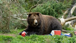 A bear eating campers food in a campsite