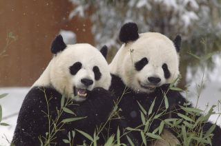Pandas come together for breeding only once a year, but are otherwise solitary animals in the wild. The Smithsonian's National Zoo keeps giant pandas Mei Xiang (L) and Tian Tian apart all year, except for during the one day a year when Mei goes into estru