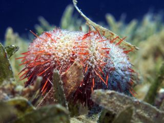 A collector sea urchin may look benign, but if a predator comes near it will release a cloud of toothy jaws.
