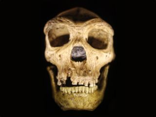 Here, a cast from a reconstructed Neanderthal skull. Researchers just examined tooth shape among Neanderthals, humans and our close relatives to figure out when the groups diverged.