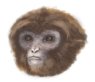 An artist's representation reveals what the newfound primate, <em>Pliobates cataloniae</em>, would have looked like when alive some 11.6 million years ago.