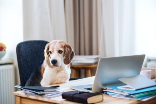 How are pets going to react when we stop working remotely and go back to the office?